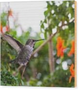 Juvenile Anna's Hummingbird Warm-up Wood Print
