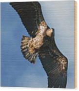 Juvenile Bald Eagle Two Wood Print