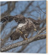 Juvenile Bald Eagle With A Fish Drb0218 Wood Print