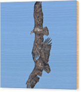 Juvenile Bald Eagles Drb0226 Wood Print