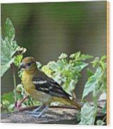 Juvenile Baltimore Oriole Wood Print