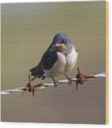 Juvenile Barn Swallow Landscape Wood Print