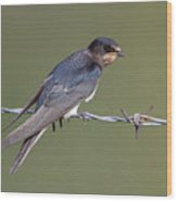 Juvenile Barn Swallow Side On Wood Print