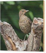 Juvenile Black Bird Turdus Merula Fledgling In Tree Stump In For Wood Print