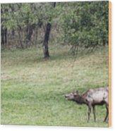 Juvenile Bull Elk Grazing 2 Wood Print