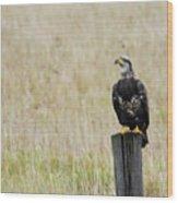Juvenile Eagle On Post Wood Print