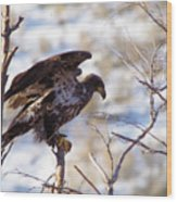 Juvenile Eagle Taking Off   Wood Print