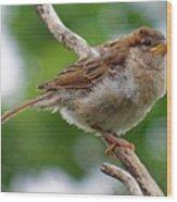 Juvenile House Sparrow Wood Print