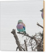 Juvenile Lilac Breasted Roller Wood Print