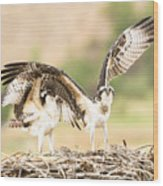 Juvenile Osprey Testing Their Wings Wood Print