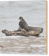 Juvenile Peregrine Falcon Wood Print