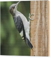 Juvenile Red Headed Woodpecker Wood Print