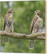 Juvenile Red-tailed Hawks Eyeing Each Other Wood Print