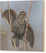 Juvenile Red Winged Blackbird Wood Print