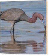 Juvenile Reddish Egret Wood Print