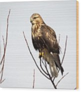 Juvenile Rough-legged Hawk  Wood Print