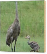 Juvenile Sandhill Crane With Protective Papa Wood Print
