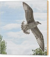 Juvenile Seagull In Flight Wood Print