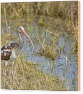 Juvenile White Ibis In The Everglades Wood Print