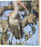Juvenile White Ibis Wood Print