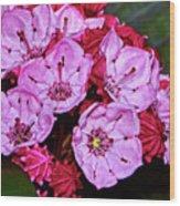 Kalmia Latifolia - Firecracker Mountain Laurel 001 Wood Print