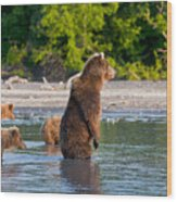 Kamchatka Brown Bear Wood Print
