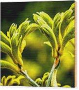 Kangaroo Paw 2 Wood Print