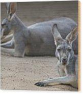 Kangaroo Relaxing On Ground In The Sun Wood Print