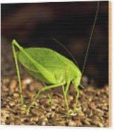 Katydid Close Up Bug Wood Print