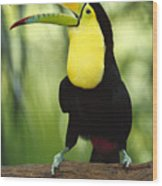 Keel Billed Toucan Calling Wood Print