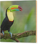 Keel Billed Toucan Perched On A Branch In The Rainforest Wood Print