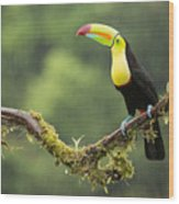 Keel-billed Toucan Perched Under The Rai Wood Print