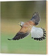 Kestrel Bird Wood Print by Mark Hughes