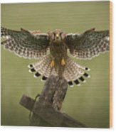 Kestrel On Final Approach Wood Print