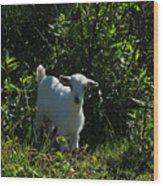 Kid Goat On A Farm Wood Print