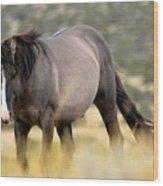 Kiger Stallion Wood Print