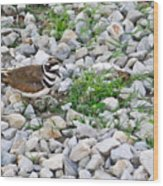 Killdeer 1 Wood Print by Douglas Barnett