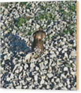 Killdeer 2 Wood Print