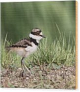 Killdeer - 24 Hours Old Wood Print
