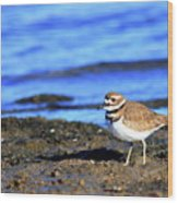 Killdeer . 40d4101 Wood Print
