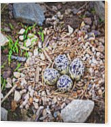 Killdeer Nest Wood Print