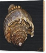 King Conch 2 - Photosbydm Wood Print