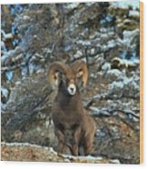 King Of The Canadian Rockies Wood Print