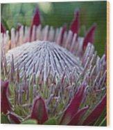King Protea Island Flowers Jewel Of The Garden Wood Print
