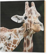 Kissing Giraffes Wood Print by Buck Forester