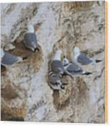 Kittiwakes Tend Their Chicks At Rspb Bempton Cliffs Wood Print