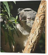 Koala Bear 3 Wood Print