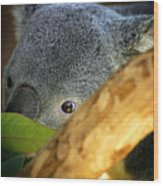 Koala Bear  Wood Print by Anthony Jones