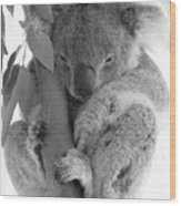 Koala Bear Wood Print by Terry Burgess