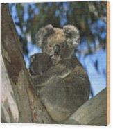 Koala Phascolarctos Cinereus Mother Wood Print